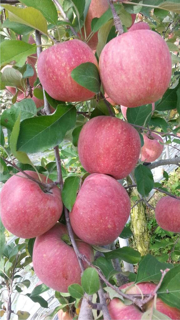 예쁘게 물들은 사과들의 모습들