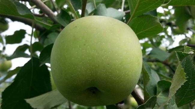 햇부사 사과