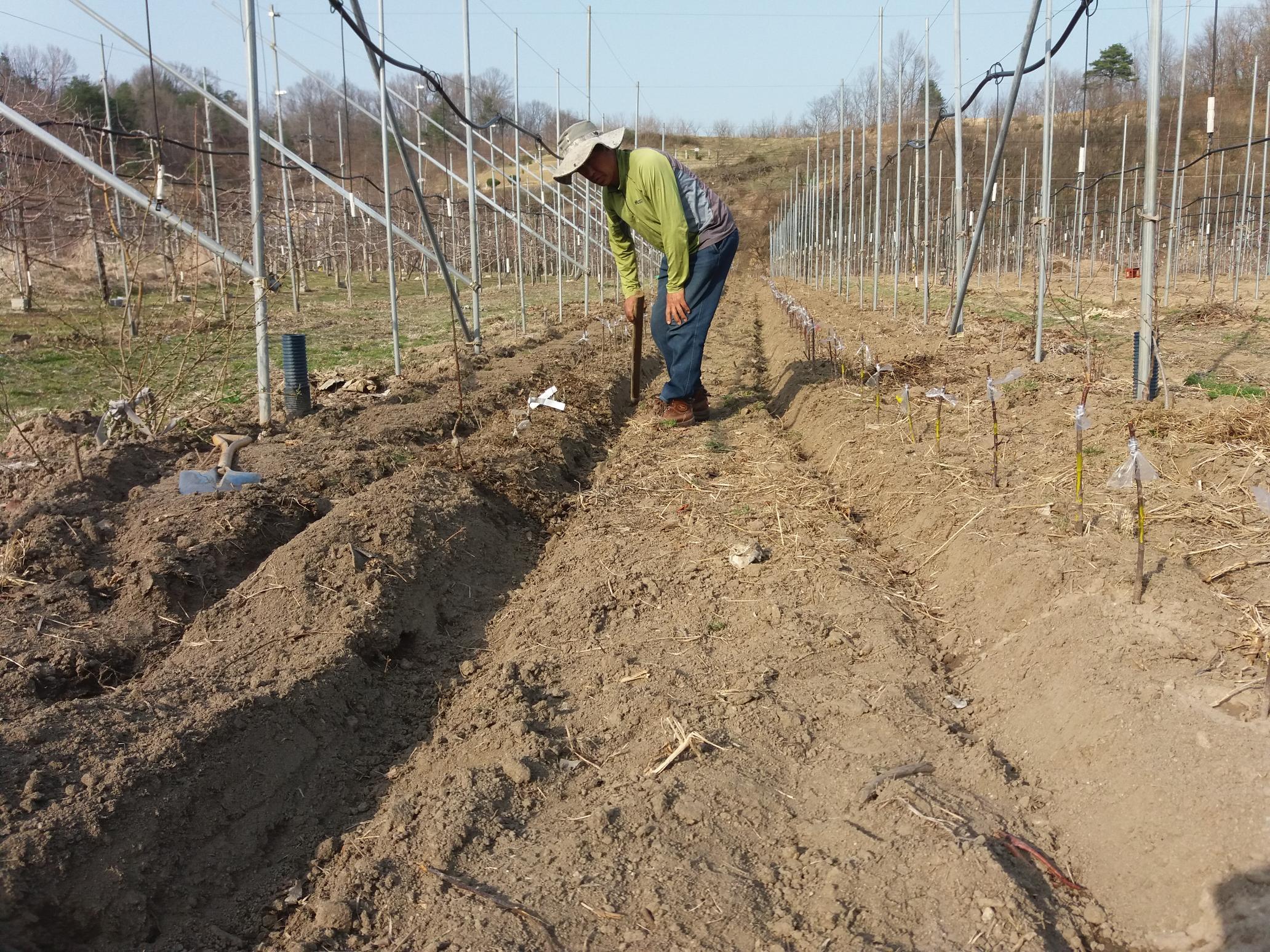 사과나무 묘목 접목심기