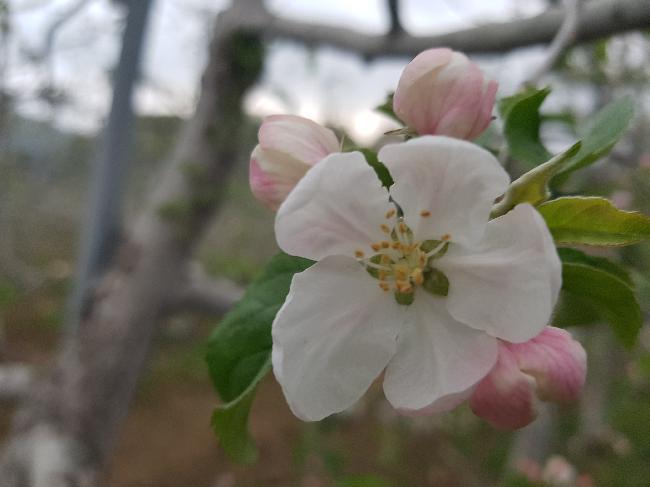 서리피해 사과꽃