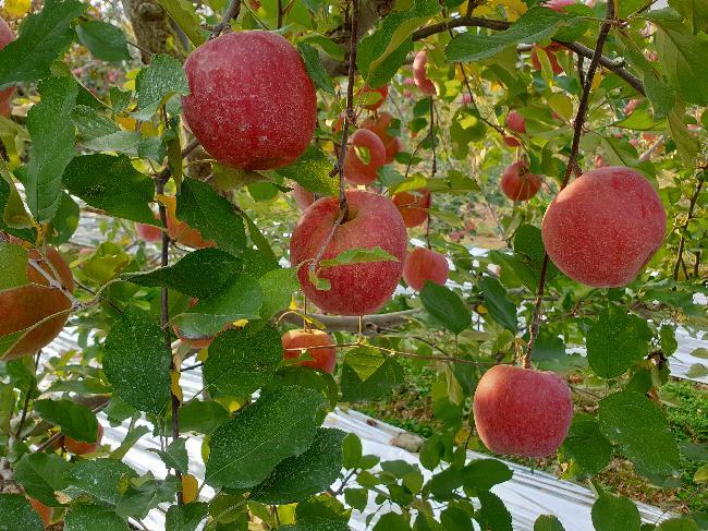 사과수확을 이틀 앞두고서