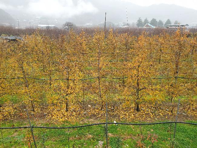 사과나무 단풍