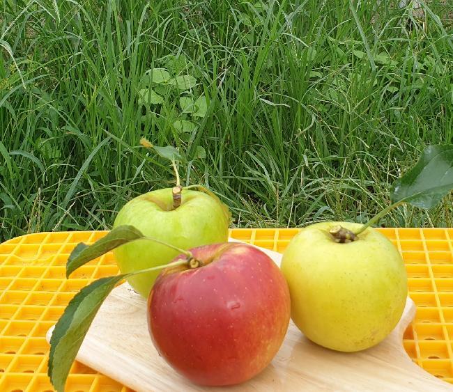 추석선물 삼색사과